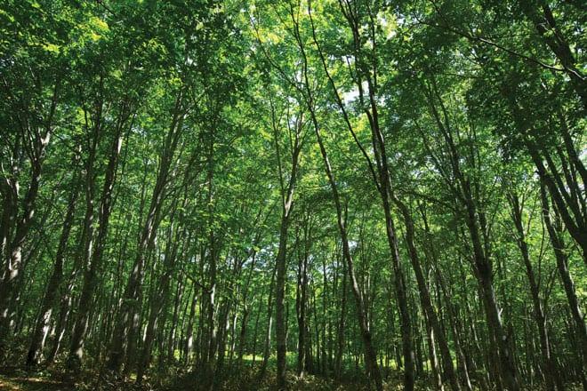 web19_春_ブナの森新緑
