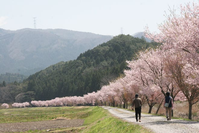 web20_名倉川沿いコヒガン桜1