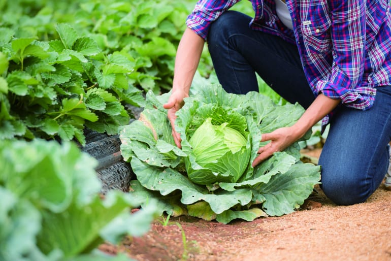 Farmers are working in cabbage farm
